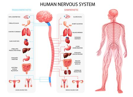 Human body nervous system sympathetic parasympathetic charts with realistic organs depiction and anatomical terminology vector illustration