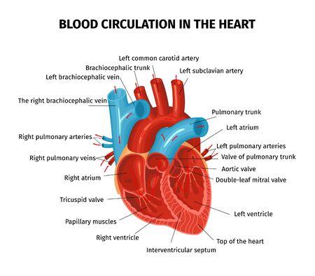 Anatomie Herzkreislauf Blutzusammensetzung mit bearbeitbaren Textunterschriften, die auf verschiedene Teile der menschlichen Herzvektorillustration zeigen Vektorgrafik