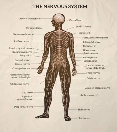 La moelle épinière du cerveau central du corps humain et le schéma médical du système nerveux périphérique illustration vectorielle graphique rétro réaliste
