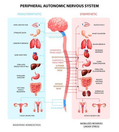 Il sistema nervoso autonomo periferico umano con i neuroni simpatici del midollo spinale segnala la comunicazione realistica dell'illustrazione variopinta di vettore dello schema Vettoriali