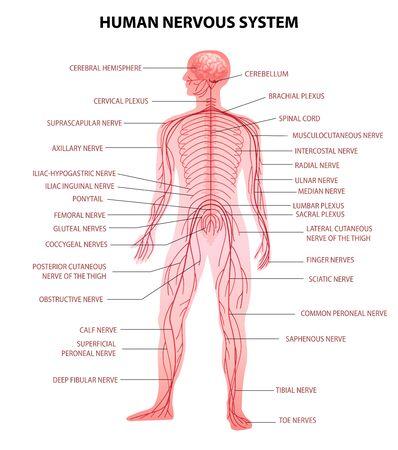 Menschlicher Körper zentrales Gehirn, Rückenmark und peripheres Nervensystem realistische pädagogische Diagramm anatomische Terminologievektorillustration Vektorgrafik