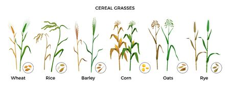 Cereal grasses flat icons set with wheat rice barley corn oats rye plants and seeds isolated vector illustration