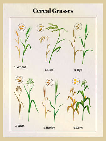 Cereal grasses vintage poster with wheat oats barley rice rye corn grain seedlings and seeds vector illustration