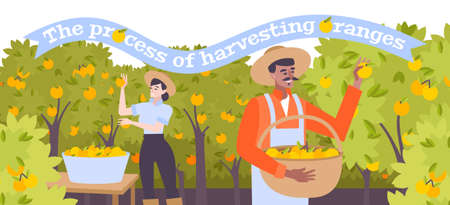 Harvesting of oranges flat background with male and female characters in hats collecting citruses illustration