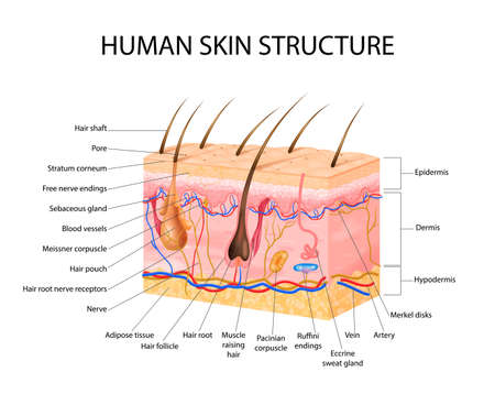 Skin sensory receptors concept with epidermis hair and dermis flat vector illustration