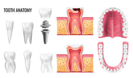 Realistic set with tooth anatomy oral cavity types of teeth isolated on white background vector illustration
