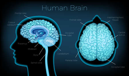 Human Brain Poster illustration