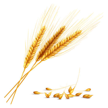 Barley ears and grain with harvest and farming symbols realistic vector illustration