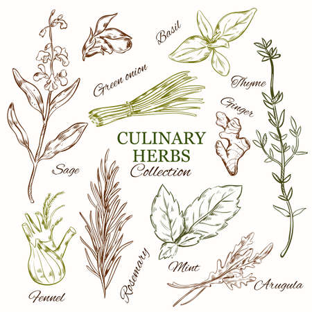 Hand drawn culinary herbs set with different fresh organic healthy natural species isolated vector illustration