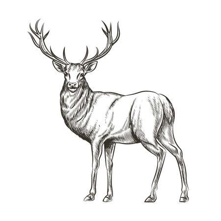 Hand drawn deer. Animal wild, horn and nature wildlife, mammal reindeer, horned antler, sketch vector illustration