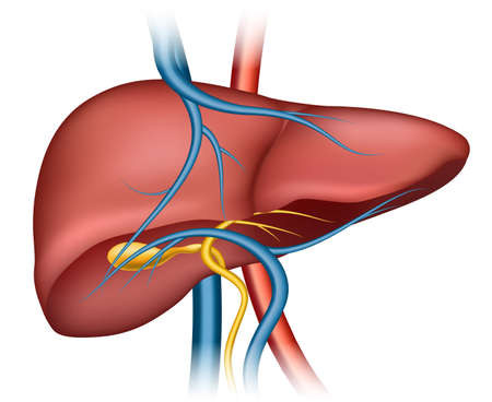 Human liver structure. Organ human, medical science, health internal, vector illustration