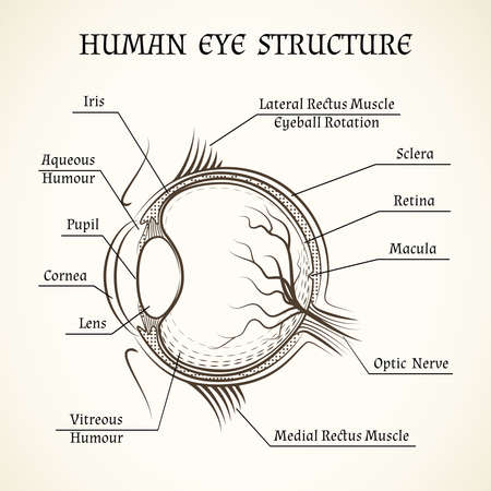 Vector structure of the human eye. Anatomy and medicine, iris and pupil, lens and macula, aqueous humour