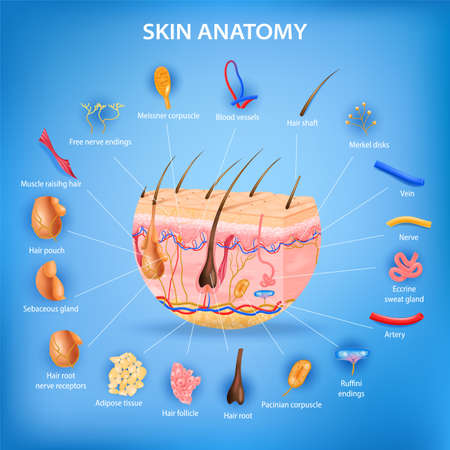 Skin anatomy realistic background with layers and labeled parts vector illustration