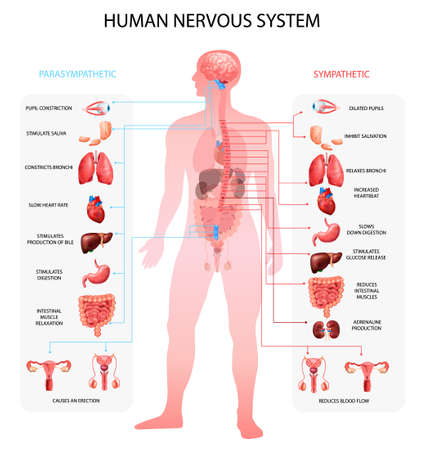 Human nervous system sympathetic parasympathetic info charts with organs depiction and anatomical terminology educational realistic vector illustration