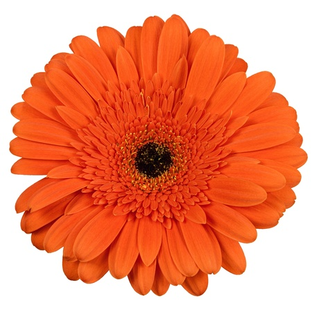 gerber daisy: Orange gerber flower isolated on white background Stock Photo