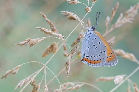 lycaena: Chrysophanus dispar rutilus butterfly in nature