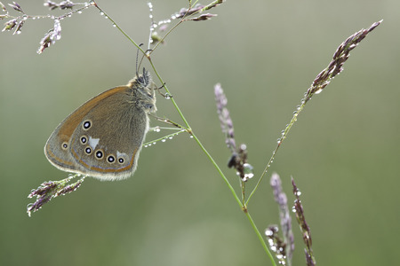 feelers: Coenonympha glycerion butterfly on plant in nature Stock Photo