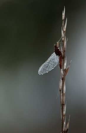 steadily: Mayfly, Ephemeroptera, hanging steadily on top of a plant on dark background