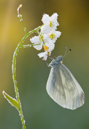 pieris: Butterfly Pieris rapae on Cuckoo-flower