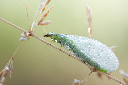 chrysoperla: Chrysopidae-insect Green Lacewing in nature