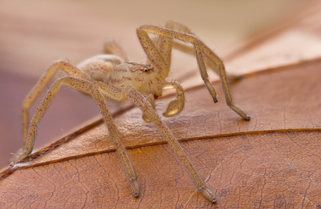 heteropodidae: Micrommata virescens spider in nature on brown leaf Stock Photo
