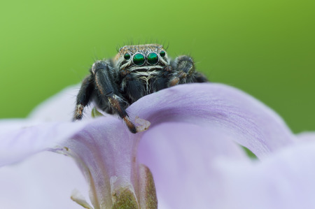 evarcha: Evarcha arcuata Jumping Spider Macro Shot Stock Photo