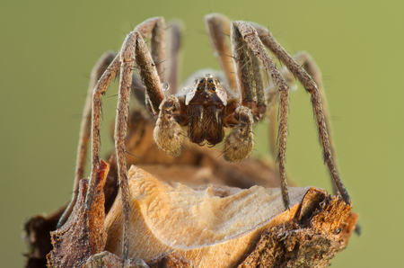 pisauridae: Pisaura mirabilis spider in nature