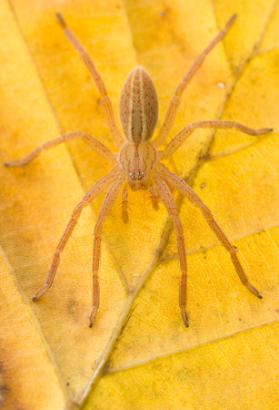 heteropodidae: Micrommata virescens spider in nature on yellow leaf