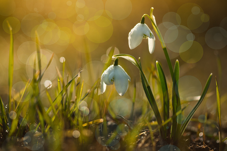 Galanthus nivalis f. flore pleno flowers spring, white snowdrop flower with abstract bokeh background