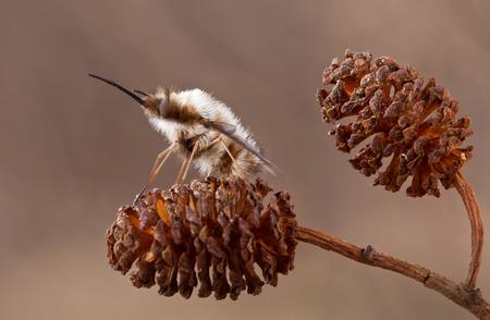 entomological: Bombylius major in spring Stock Photo