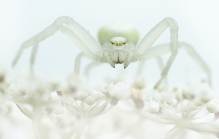 goldenrod spider: Goldenrod crab spider sitting on a white plant with white background