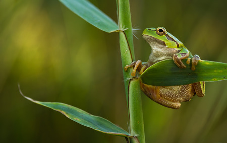 green tree frog: Green Tree Frog on a reed leaf Hyla arborea