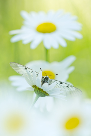 clouded: The Clouded Apollo Parnassius mnemosyne on a daisy flowers