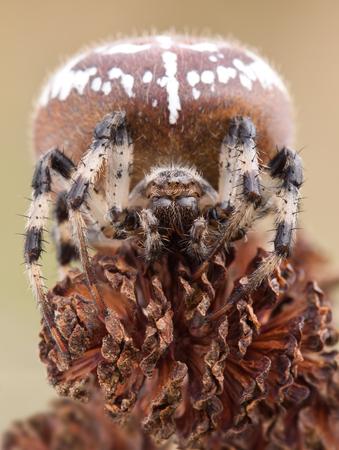 arachnidae: Spider Araneus on alder cones close up in nature Stock Photo