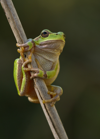 outumn: Green Tree Frog on a reed leaf Hyla arborea in nature