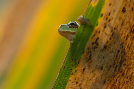 green tree frog: Green Tree Frog on a reed leaf Hyla arborea in nature