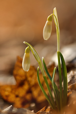 galanthus: Galanthus nivalis, snowdrop flower on old leaves Stock Photo