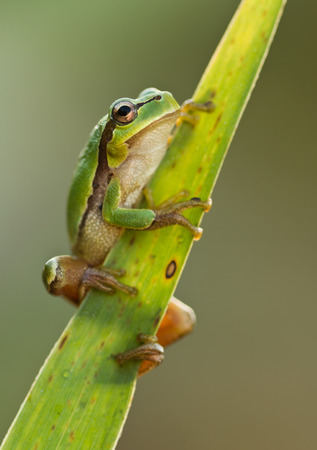 croaking: Green Tree Frog on a reed leaf Hyla arborea in nature