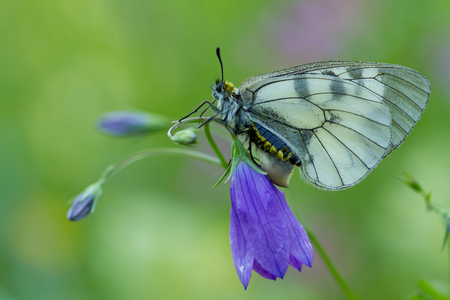 clouded: The Clouded Apollo Parnassius mnemosyne on flower Stock Photo