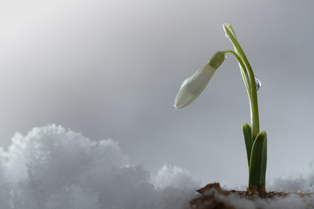 galanthus: Galanthus nivalis, snowdrop flower on snow