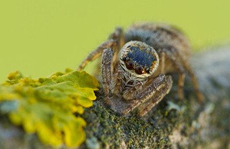 evarcha: Evarcha arcuata Jumping Spider Macro Shot in nature