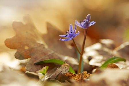 View of magic blooming spring  snowdrop flower growing from old oak leaves in wildlife. Beautiful macro photo of wildgrowing scilla in spring