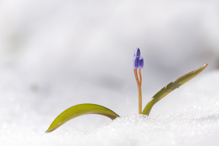 View of magic blooming spring  snowdrop flower growing from snow in wildlife. Beautiful macro photo of wildgrowing scilla on snow