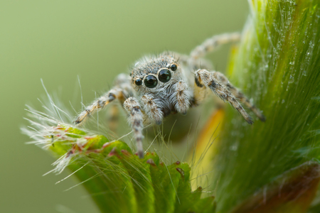 Little jumping spider on plant in front of camera