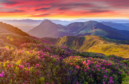 Amazing colorful sunrise in mountains with colored clouds and pink rhododendron flowers on foreground. Dramatic colorful scene with flowers Reklamní fotografie