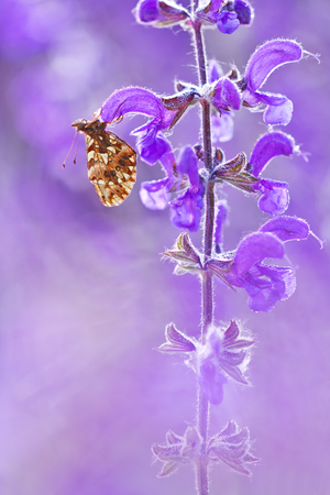macrophotography: Butterfly (Boloria dia) on flower with a beautiful violet background in wildlife. Natural light and color macrophotography of Boloria Dia shot in nature