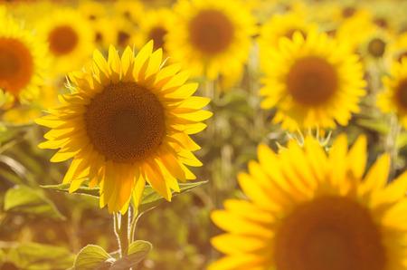 Amazing beauty of golden sunlight on sunflower petals. Beautiful view on field of sunflowers at sunset