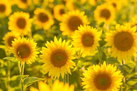 Amazing beauty of sunflower field with bright sunlight on flowers Reklamní fotografie