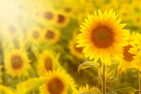 Amazing beauty of sunlight beams on sunflower petals. Beautiful view on field of sunflowers at sunset
