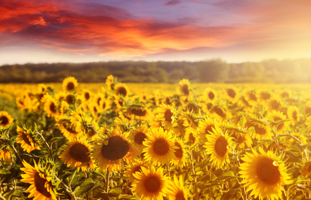Amazing fairy sundown on sunflower field with sunflowers on foreground. Scenic view on sunflowers with golden sunlight in sundown wiyh colorful sky